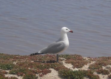 Audouin's gull duplicates the breeding population in the embankments of San Pedro del Pinatar