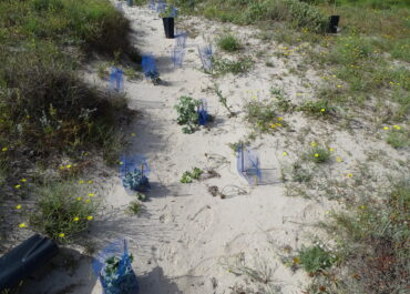 Current status of repopulations in the dune system of La Llana Beach