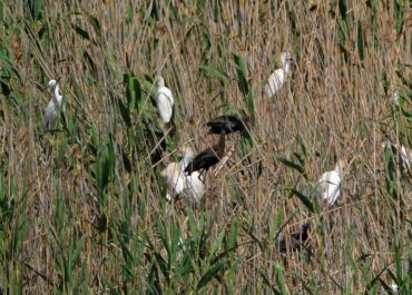 The glossy ibis in the salt flats of San Pedro del Pinatar, a new reproductive species in the Region of Murcia