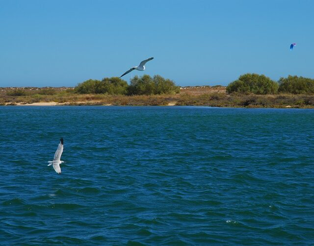 The nesting of Larus audouinii in Portugal