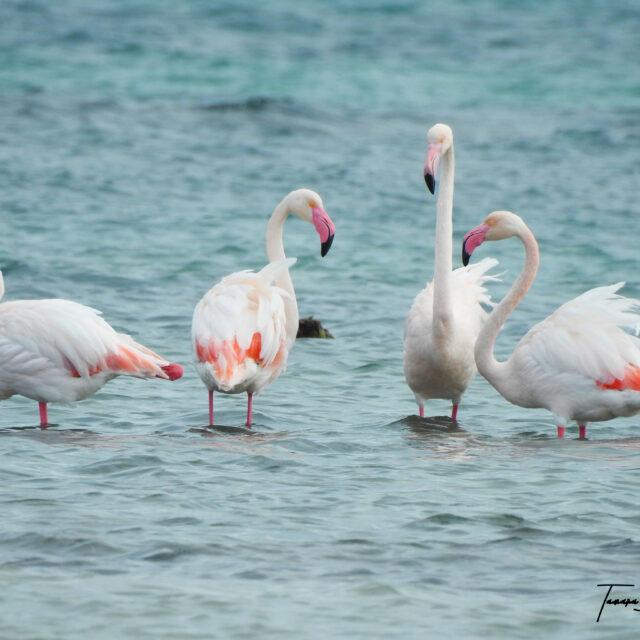 The Flamingo, a symbolic species of the Regional Park