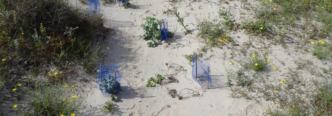 Estado de las plantaciones de vegetación dunar (2)